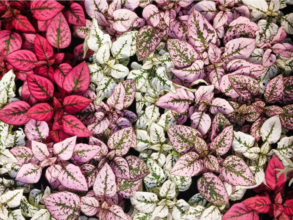 planta confete