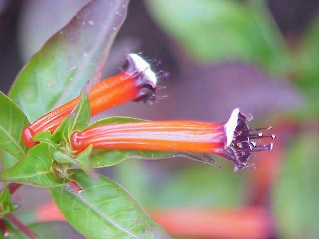 planta de charuto cultivo