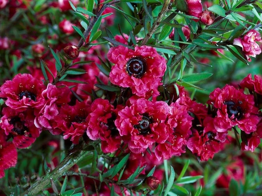 planta erica japonesa
