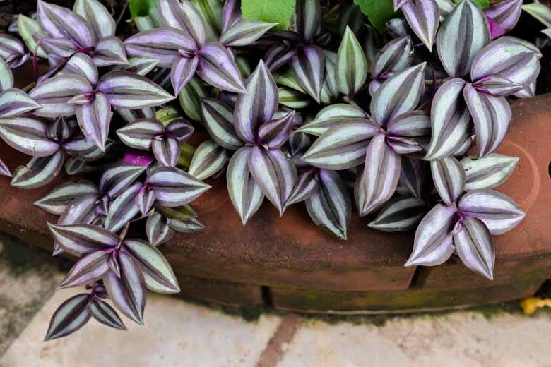 planta lambari roxo