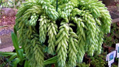planta rabo de burro