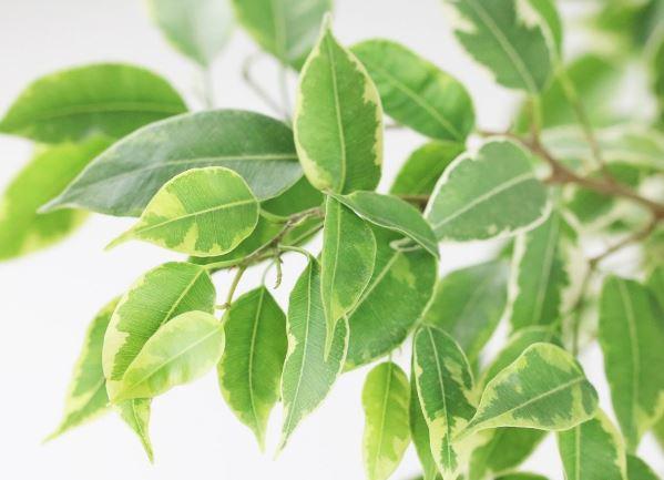 plantar benjamina em casa