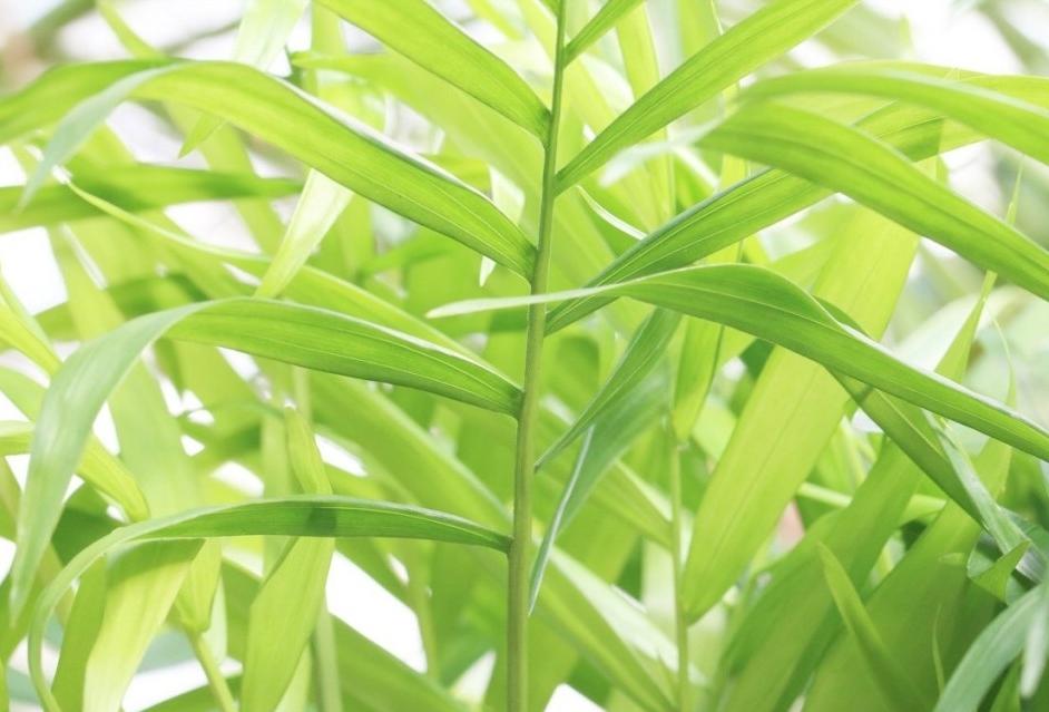 plantar chamaedorea em casa