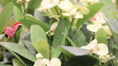 plantar euphorbia em casa