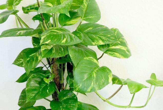plantar filodendro em casa