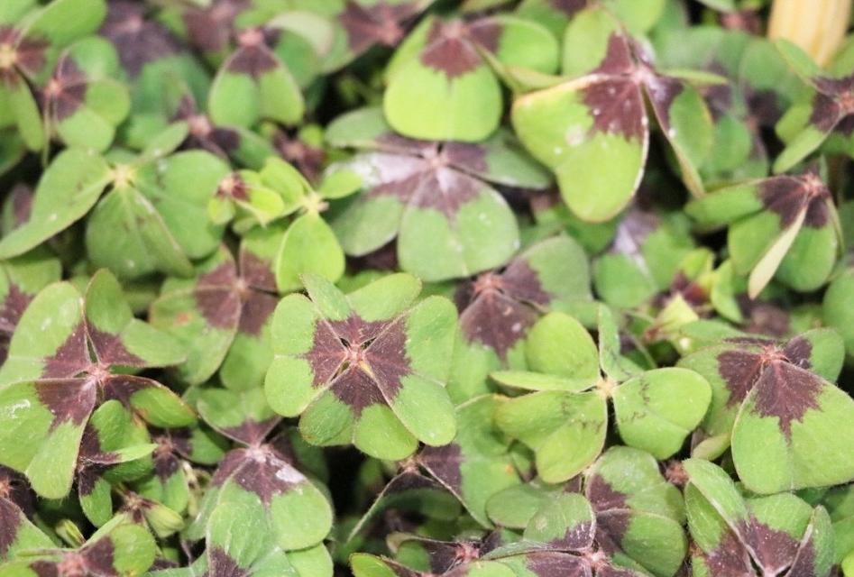 plantar trevo da sorte em casa