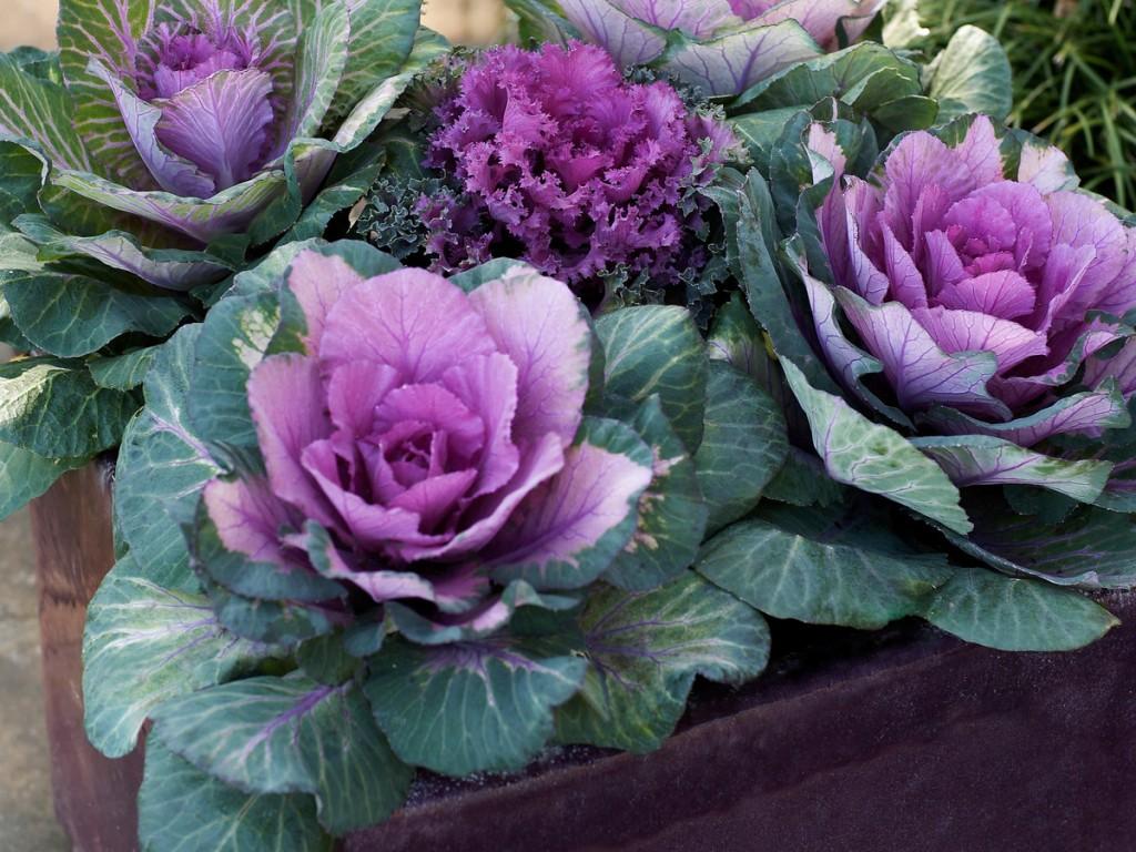 repolho ornamental como plantar