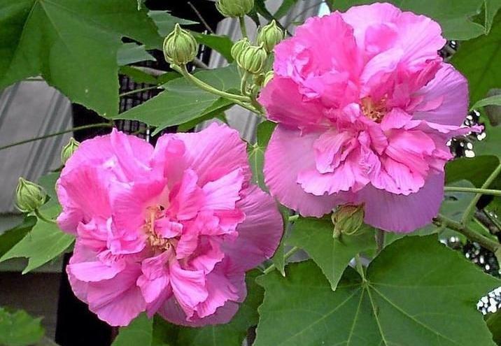 rosa confederada