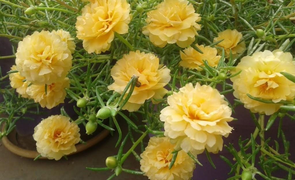 rosa japonesa como plantar