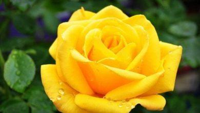 rosa nocaute amarela