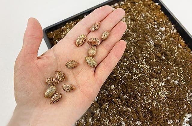 sementes de mamona